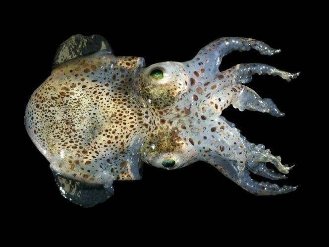Sepiola atlantica, une espèce de seiche originaire de l'océan Atlantique.