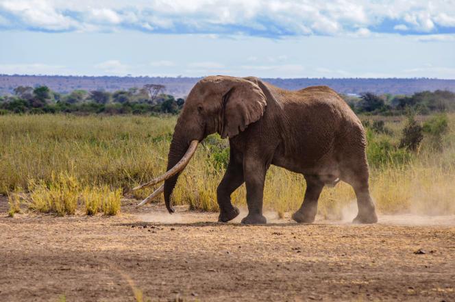 L'éléphant Tim en septembre 2016 dans le parc national d'Amboseli, au Kenya.