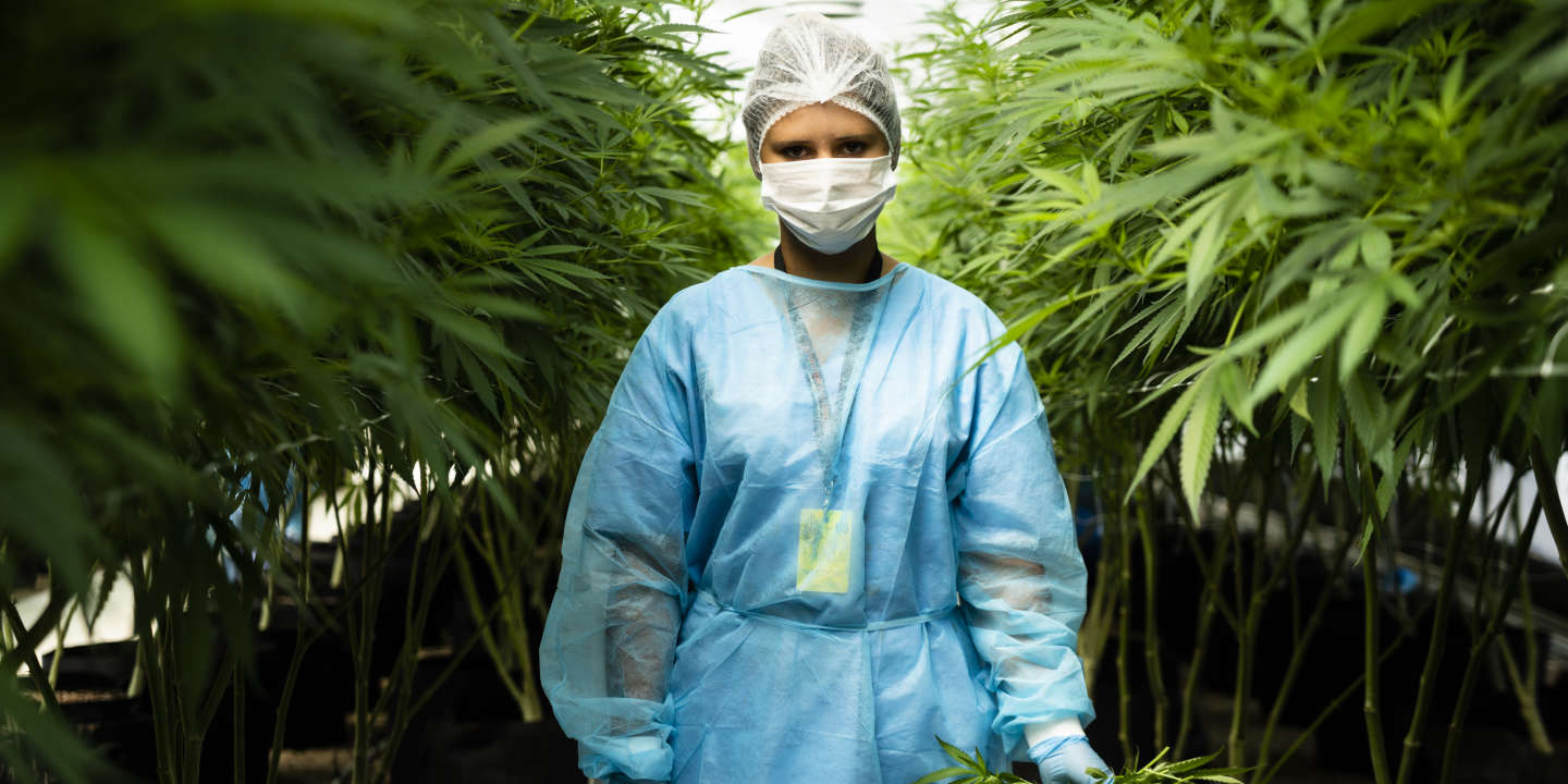 A worker stands for a photograph with a handful of cannabis plants inside a Fotmer SA greenhouse in Nueva Helvecia, Uruguay, on Tuesday, Feb. 26, 2019. In 2013 Uruguay became the first nation to legalize recreational marijuana, and now companies are looking outside their local market to turn the nation into a global medical marijuana leader. Photographer: Eilon Paz/Bloomberg via Getty Images