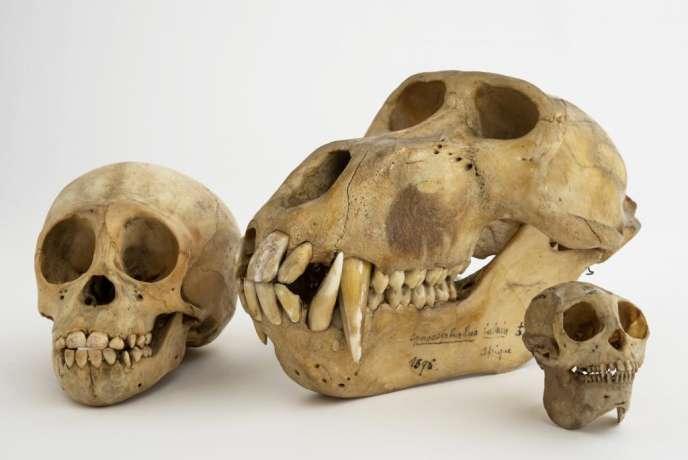 De gauche à droite : Crâne et mandibule d'orang-outan (Pongo pygmaeus abeli), Crâne et mandibule de mandrill (Mandrillus sphinx) et Crâne et mandibule d'ornate titi (Callicebus ornatus).