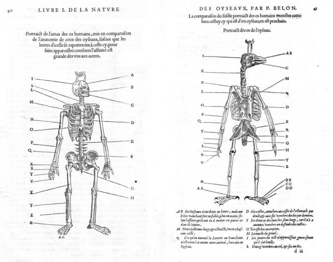 Cette gravure, tirée du livre de Pierre Belon du Mans «L'Histoire de la nature des oyseaux » (1555) , met en évidence les similitudes entre le squelette des oiseaux et celui des humains. Chaque lettre renvoie à un même nom d'os pour les deux espèces, qui sont dits « homologues ».