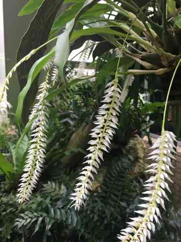 Le nom scientifique de cette étonnante orchidée est«Dendrobium speciosum».
