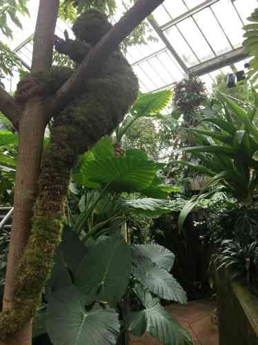 Le dendrolague,espèce animale menacée, est un kangourou arboricole d'Indonésie.