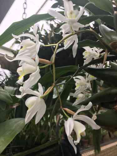 Le nom scientifique de cette orchidée est «Coelogyne Unchained Melody».