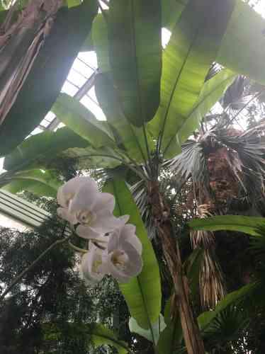 Orchidée sur fond de bananiers et de palmiers.