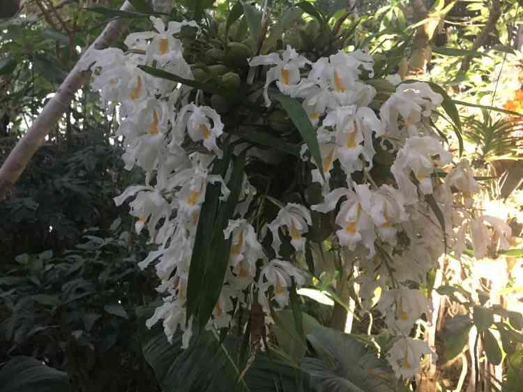 Le nom scientifique de cette orchidée est « Coelogyne cristata».