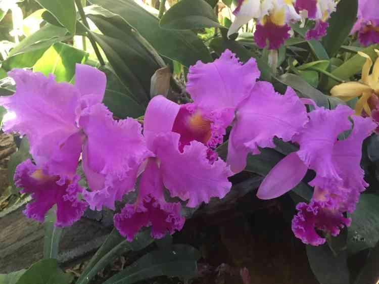 Le délicat cattleya, orchidée originaire d'Amérique latine, a connu,associé à l'amour charnel– et avec un seul «t»–, une gloire littéraire dans «Un amour de Swann», de Marcel Proust.