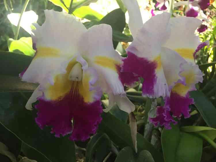 « Cattleya Patchara Francy» est le nom scientifique de cette élégante orchidée.