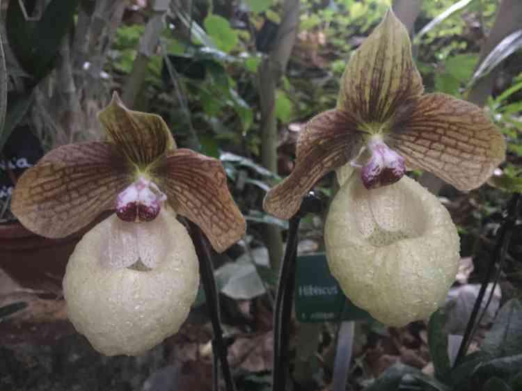 Le mot «orchidée»vient du grec«orchis», qui signifie... testicules.