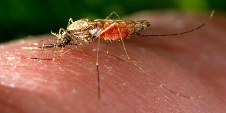 Comment le moustique anophèle repère notre sang chaud