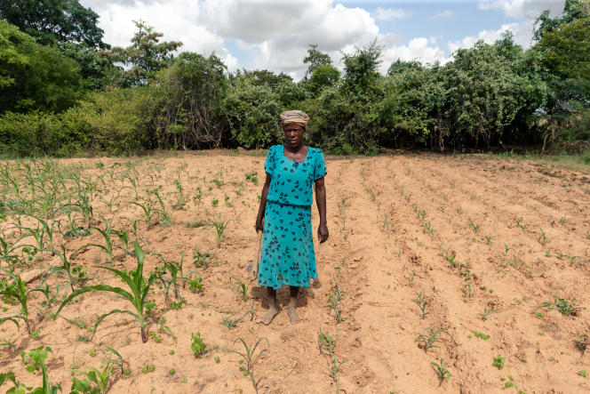 Josephine Ganye dans son champ de maïs, à Buhera, au Zimbabwe, le 28janvier 2020. Ses plants sont flétris en raison de la chaleur persistante et des faibles précipitations.