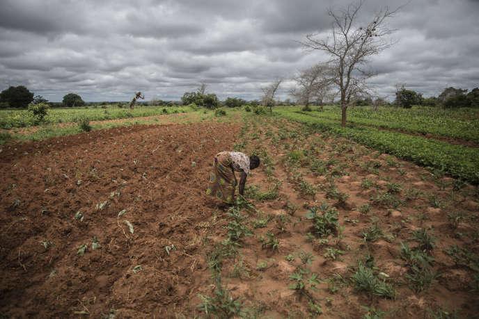 Imelda Hicoombolwa enlève les mauvaises herbes de son champ à Kaumba, en Zambie, le 21janvier 2020.