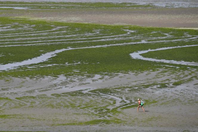 La plage de Grandville à Hillion( côtes-d'Armor)recouverte d'algues verte, le 10 juillet 2019.