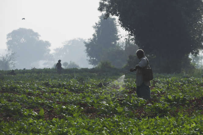 Un travailleur répand un pesticide près de Calcutta en Inde, en novembre 2019.