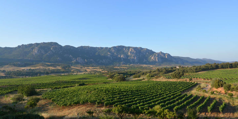 En Corse, la vigne prend le maquis
