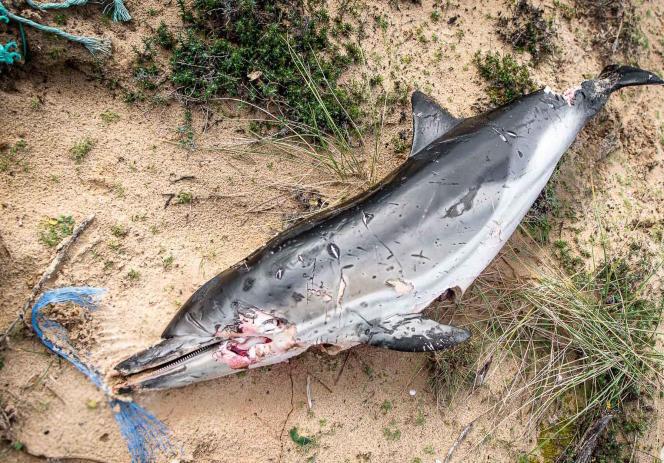 Un dauphin échoué et abandonné, dans le golfe de Gascogne, le 16 décembre 2019.
