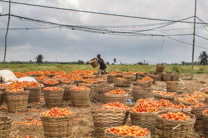 Une plantation de tomates à Grand-Popo, une ville côtière du sud-ouest du Bénin, en septembre 2019.