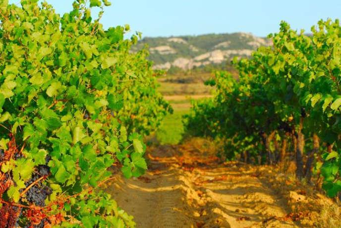 Saint-Laurent-de-la Cabrerisse,« porte des Hautes Corbières» : un paysage de vignobles.