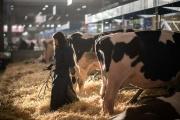 Une agricultrice s'occupe de son bétail en préparation du 57e Salon de l'agriculture à Paris, le 21 février.