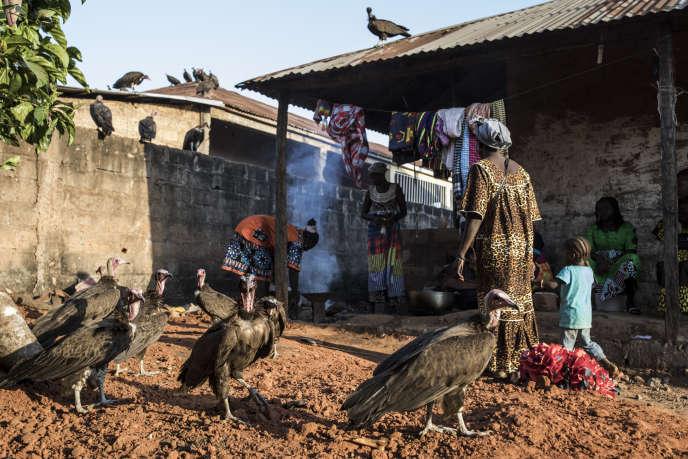 Au moins 240 vautours ont été retrouvés morts en Guinée-Bissau ces dernières semaines.