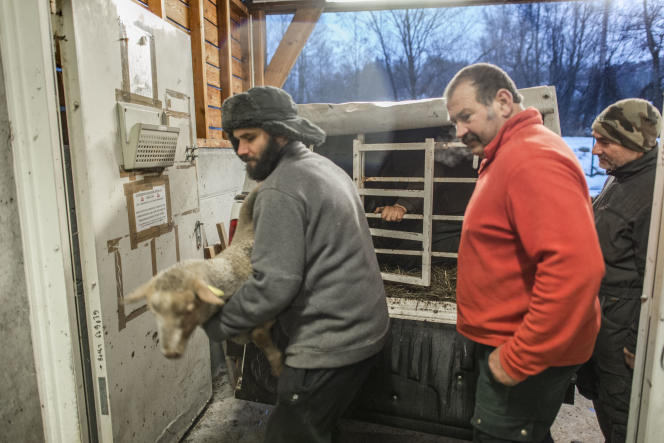 Arrivée des ovins à l'abattoir. Les animaux ne sont pas mélangés.