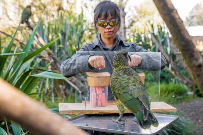 Le perroquet kéa choisit entre deux mains, qui ont chacune pioché dans un bocal. Si la pince à linge est noire, il est récompensé.