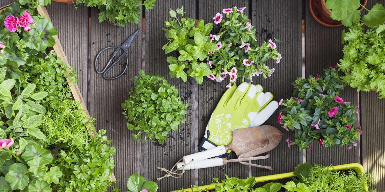 Entretenir Un Pied De Basilic quatre bons « plants » pour jardiner au balcon