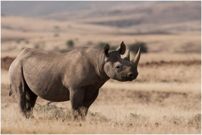 Entre 2012 et 2018, la population de rhinocéros noirs d'Afrique a augmenté de 2,5% par an.