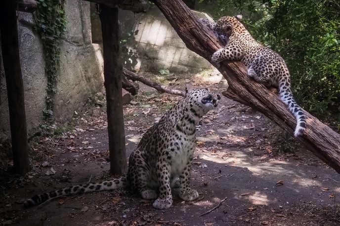 Une jeune panthère mâle, avec sa mère, au zoo de Beauval, en septembre 2019.
