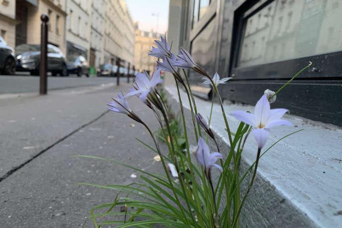 Iphéion du Paraguay, qui a fleuri les premiers jours du confinement, en bordure de trottoir, dans le 11e arrondissement, à Paris