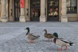 Des canards devant la Comédie française à Paris, le 2 avril 2020.