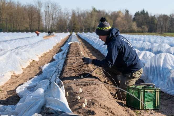 Récolte des asperges, à Brumath (Bas-Rhin), au dix-septième jour du confinement.