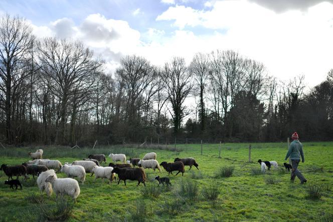 Un troupeau de brebis, à Notre-Dame-des-Landes (Loire-Atlantique), en janvier 2018.