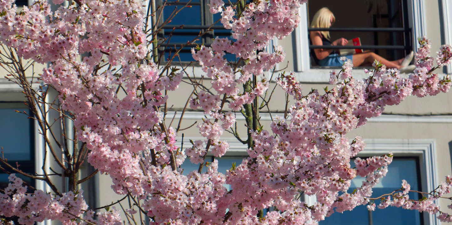 A woman reading a book at her window appears behind a blooming Japanese cherry tree in Lille, as a lockdown is imposed to slow the rate of the coronavirus disease (COVID-19) spread in France, March 24, 2020. REUTERS/Pascal Rossignol