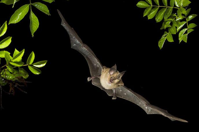 Vol de nuit d'un grand rhinolophe fer-à-cheval, une des 1300 espèces de chauves-souris.