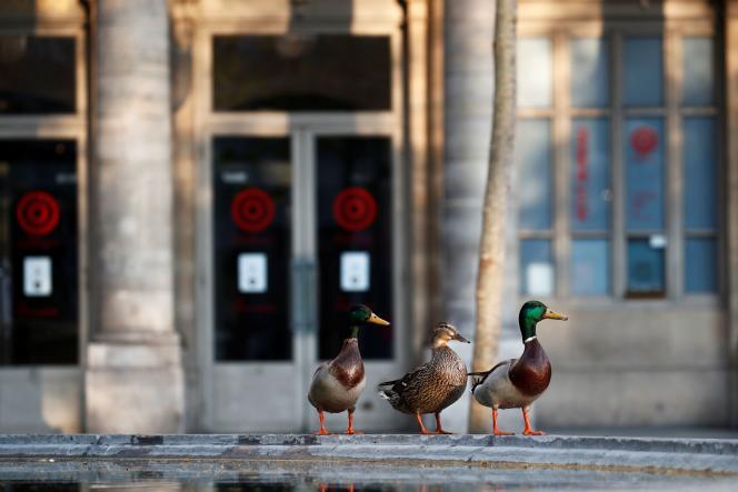 Des canards devant la Comédie-Française, à Paris, le 10 avril, visiblement déçus d'avoir trouvé les guichets fermés.