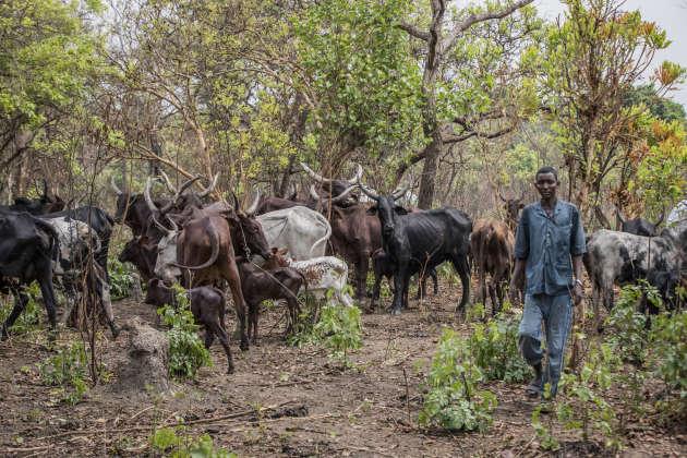 Cet éleveur nomade, venu du sud du Soudan avec son bétail à la recherche de pâturages, doit aujourd'hui contourner la réserve de Chinko.