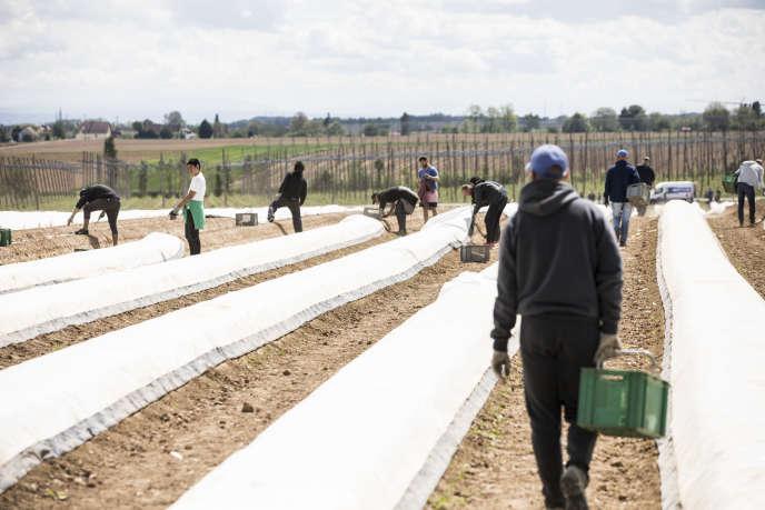 Récolte des asperges en plein champ a Brumath (Bas-Rhin), le 29 avril. Les producteurs ne manquent plus de bras pour les cueillir, mais la fermeture des restaurants et marchés perturbe leur commercialisation.