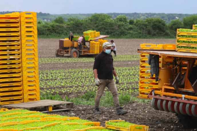 Semis de salades dans un champ près de Montesson (Yvelines), le 27 avril.