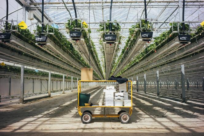 Sous les serres de production de fraises ciflorette sur le site de Barianis fondé par Patrick Jouy, à Sainte-Livrade-sur-Lot, dans le Lot-et-Garonne, le 14 mai.