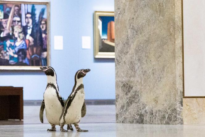 Des manchots du zoo de Kansas City (Missouri) explorent le Musée d'art Nelson-Atkins, le 6 mai, pendant le confinement.