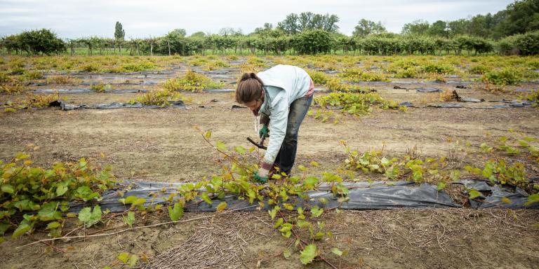 Ribaute-les-Tavernes (Gard), le 13 mai 2020. Juliette, 27 ans, est surveillante au lycée Jacques Prévert de Saint-Christol- lez -Alès. Elle s'est retrouvée sans activité dès le début du confinement. Depuis un mois, elle travaille dans la pépinière d'Anthony Bafoil, en tant qu'ouvrière agricole. Cela lui permet de gagner un peu d'argent, de voir du monde et de rompre avec une routine quotidienne. Ce jour là, dès 6h du matin, sur un terrain de 4 hectares, elle sélectionne les sarments qui serviront à la multiplication des plans de vignes.  Elle fait partie des cinq ouviers agricoles recrutés par Anthony Bafoil pour pallier le manque de main d'oeuvre bulgare ordinairement embauchée, et privée d'entrée sur le territoire française du fait de la fermeture des frontières suite à la crise sanitaire du Covid-19
