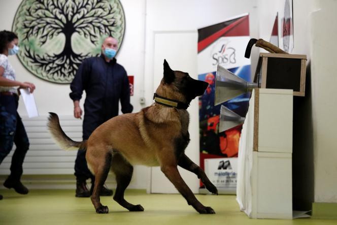 Un chien s'entraîne à détecter le Covid-19 sur des échantillons de sueur, prélevés sur des patients, àl'Ecole vétérinaire d'Alfort, le 19 mai.