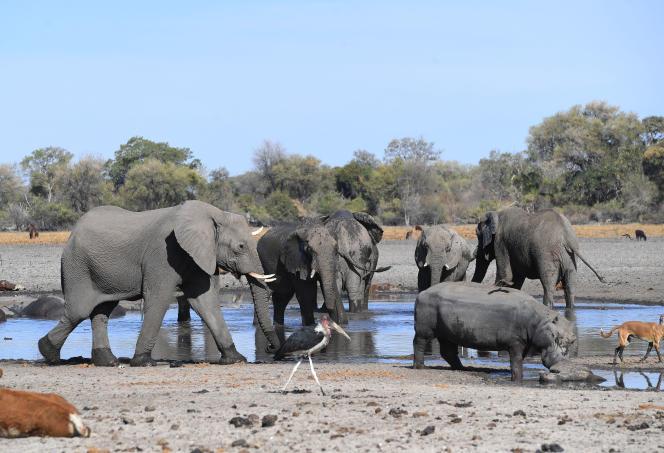 Des éléphants se désaltèrent dans la rivière Okavango, au Botswana, en septembre 2019.