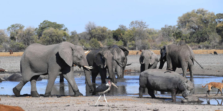 Au Botswana, ouverture d'une enquête suite à la mort mystérieuse de douze éléphants