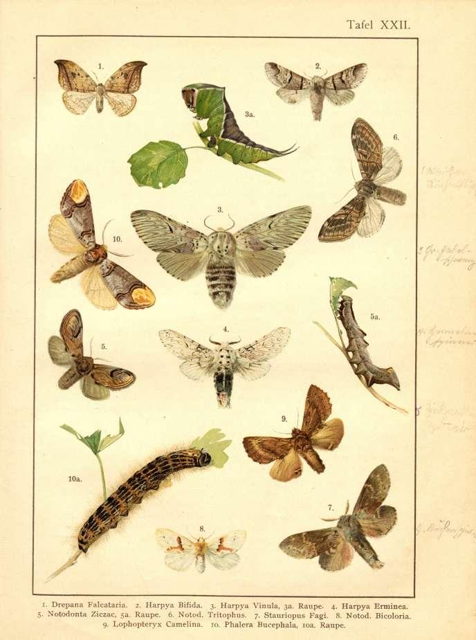 Chenilles et papillons. Planche issue d'un ouvrage d'entomologie allemand (1893).