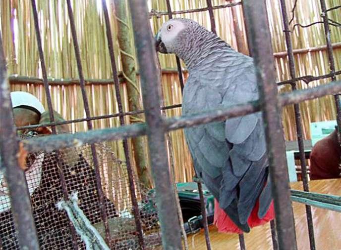 Un perroquet jaco en cage, à Kampala, en Ouganda, en mai 2005.