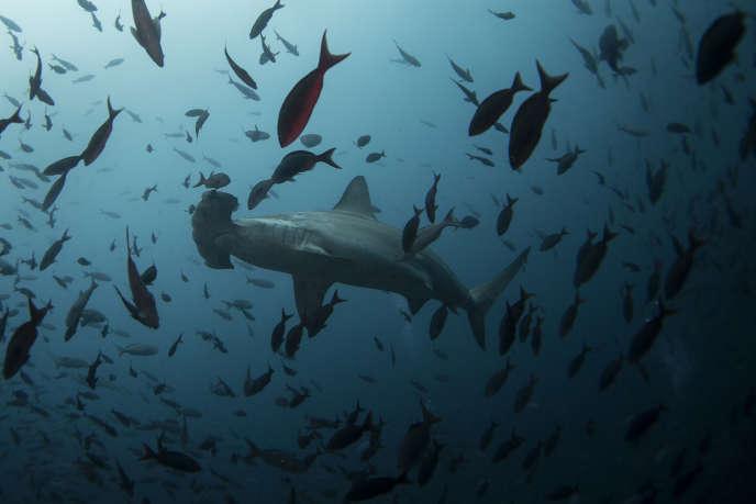 Dans la réserve marine des Galapagos, près de l'île Wolf (Equateur).