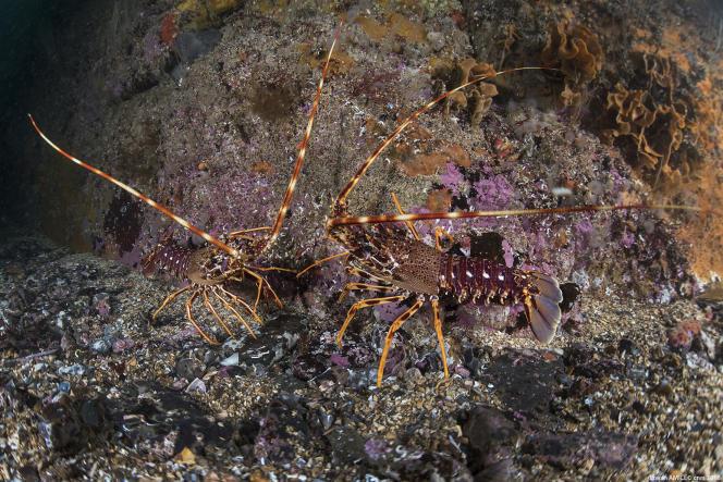 Deux langoustes rouges dans la mer d'Iroise (Finistère).