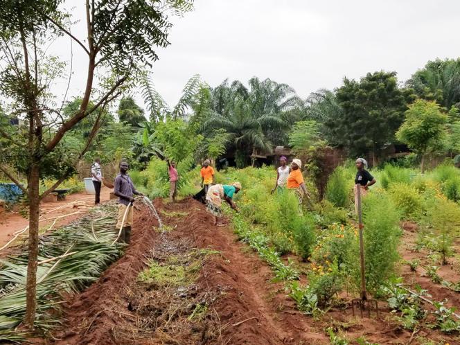 Culture d'artémisia à la ferme agroécologique de la Providence à Baningbé, au Bénin, en septembre 2018.